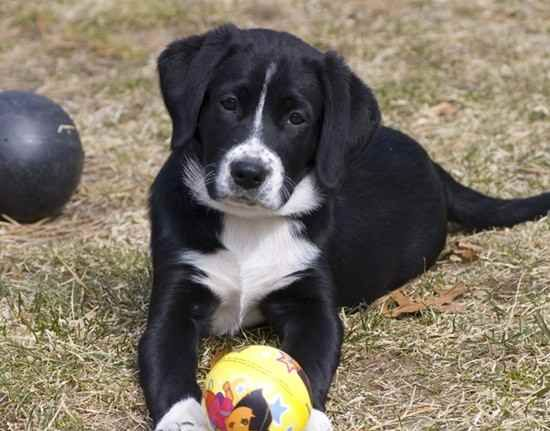 Similiar Labrador Collie Mix Puppies Keywords